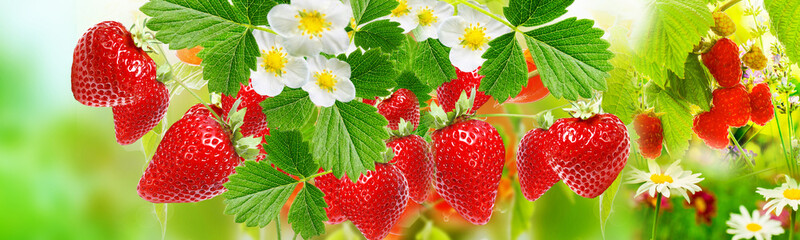 fresh summer ripe strawberries witch raspberries