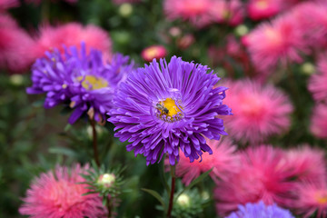 Flowering of the beautiful Purple Chrysanthemum in the city park