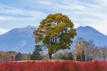 秋のナラの木と御嶽山