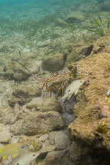 Lobster and fish in ocean