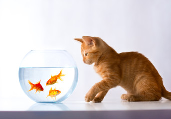 red kitten looks at a goldfish