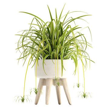 Chlorophytum in pot. Exotic plants