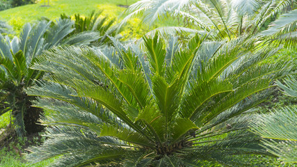 Cycad scientific name is Cycas circinalis L. Families Cycadaceae.