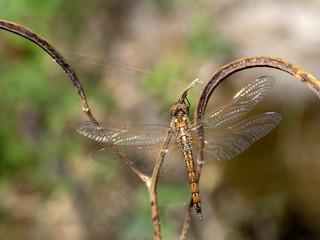 Beautiful transparent dragonfly on a branch, Namibia