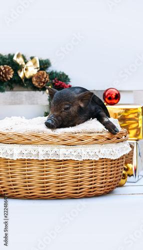 pig piglet little black basket wicker cute Vietnamese breed new year happy Christmas tree decorations garland