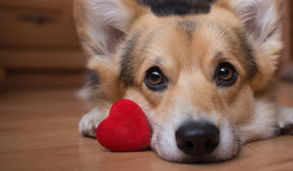 A dog with a red heart. Valentine's Day.