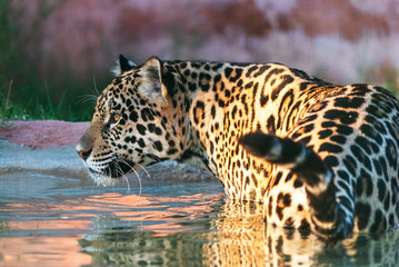 A jaguar in the water at a zoo