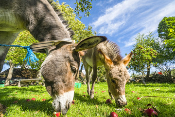 Donkeys eating red apples from a lawn