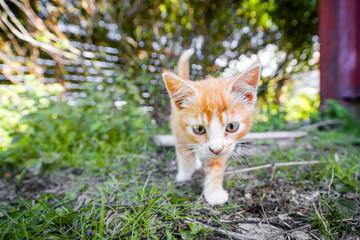 Cute kitten in orange color playing