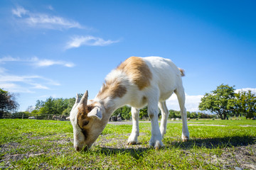 Goat eating fresh green grass at a farm