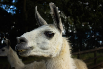 muzzle of a smiling llama with teeth