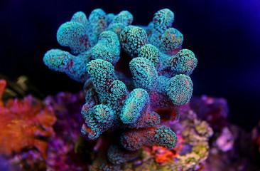 Papiers peints Sous-marin Stylophora colorful SPS coral in saltwater aquarium reef tank