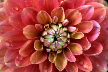 Portrait of multicolor dahlia flower on the autumn garden