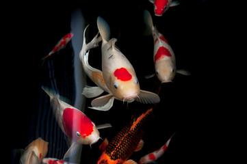 Beautiful carp koi fish swimming in pond at the garden