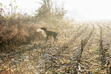German short-haired pointer in field, Budoia, Friuli, Italy