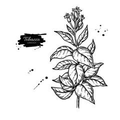Tobacco plant vector drawing. Botanical hand drawn illustration