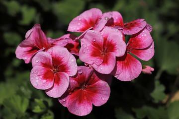Close-up of pink pelargonium geranium flower in the garden