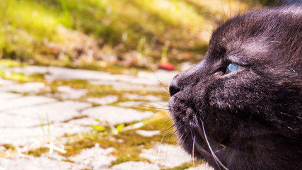 Close-up photo of the face of a black Munchkin cat (Scottish Fold) relaxing outdoor.