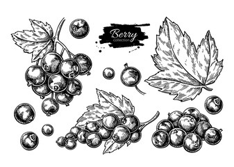 Black currant vector drawing. Isolated berry branch sketch on wh