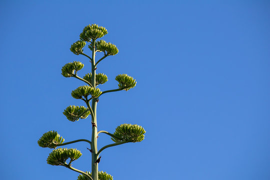 Agave americana against the blue sky, located in the composition on the left