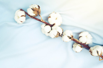 Raw cotton buds on branch on cotton blue textured background, retro toned