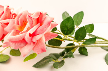 Pink roses on white background isolated