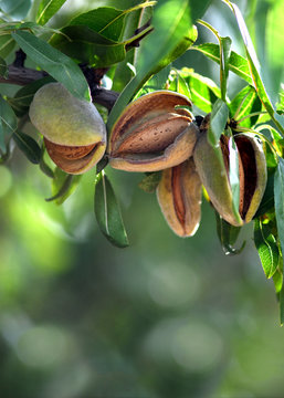 almonds ready for harvest
