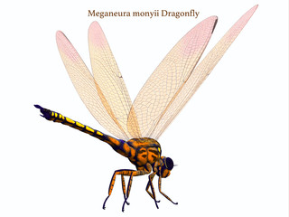 Meganeura Dragonfly Tail