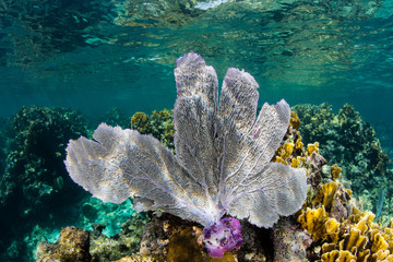Colorful Sea Fan in Shallows of Belize, Caribbean Sea