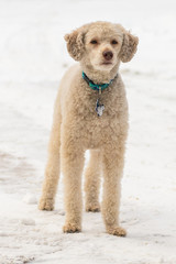 Cute Beige Labradoodle Standing In The Snow Facing Forwards