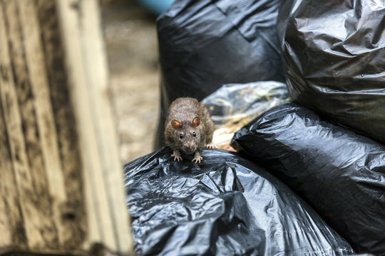 One wet brown mice Emerging among the black garbage bags on the damp wet area with dark eyes, black eyes catching us. Selective focus.