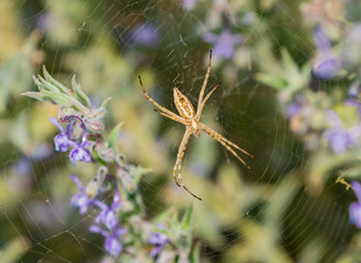 Spider on web among the purple wildflowers