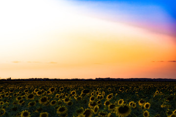 sunset over the field of sunflowers
