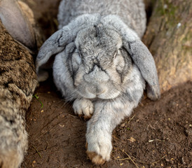 grey sleepy rabbit