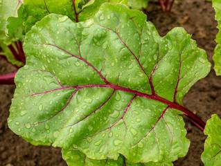 juicy beet leaf