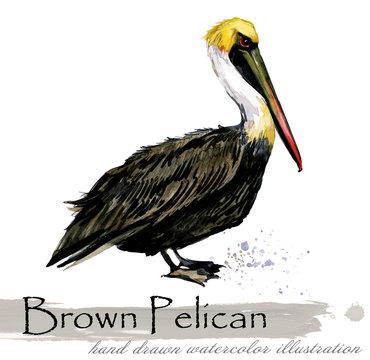 Pelican hand drawn watercolor illustration