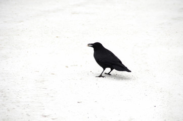 Crow on a white background