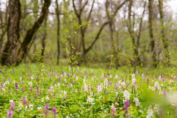Spring meadow in a forest, with white and purple wild flowers