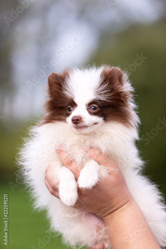 White and chocolate pomeranian puppy walks outdoor