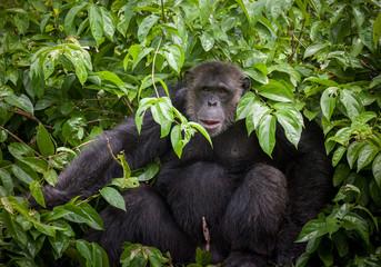 Common Chimpanzee sitting on tree.