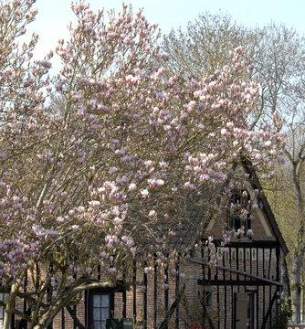 Magnolias et Prunus devant une maison à colombages, ville de Rugles, département de l'Eure, Normandie, France