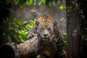 Papiers peints Leopard leopard in tree