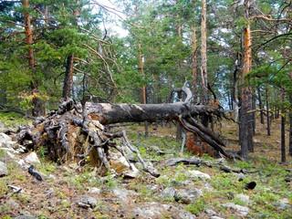 Fallen tree on the shore of Lake Baikal