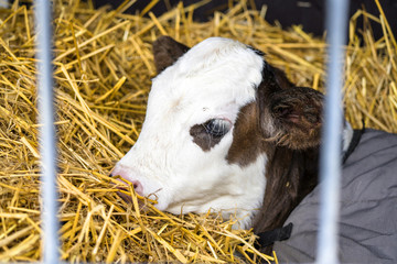 Hereford calf relaxing in hay in a barn