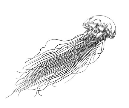 Hand drawn sketch of jellyfish in black isolated on white background. Detailed vintage style drawing. Vector illustration