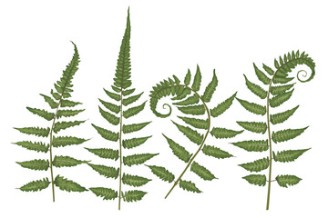 Set of silhouettes of a green forest fern isolated on white background. Vector illustration