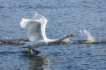 White swan take off from blue river surface at sunny day