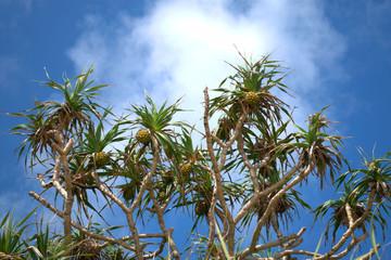 アダン 海岸の植物 ヤシ似の植物
