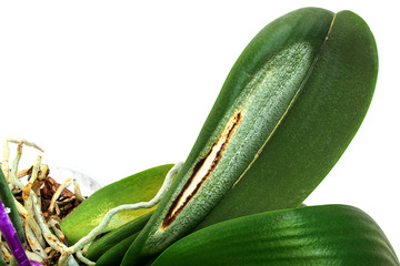 Disease on the leaf of an orchid. Close-up. Sun burn on an orchid leaf. Isolated on white background. Side view. Phalaenopsis.
