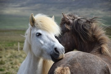 Two Icelandic horses, grooming each other